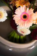Gerbera Winter 2016