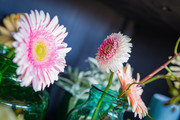 Gerbera Winter 2018